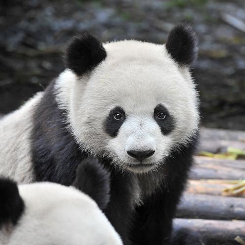 Panda velká ohrožený druh posloužil jako námět na stříbrný prstýnek.